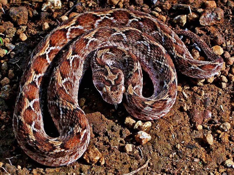 Saw Scaled Snake