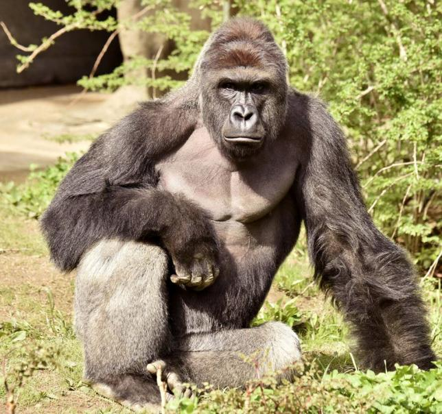 Harambe, A 17 Year Old Gorilla At The Cincinnati Zoo