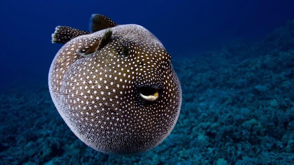 Putterfish