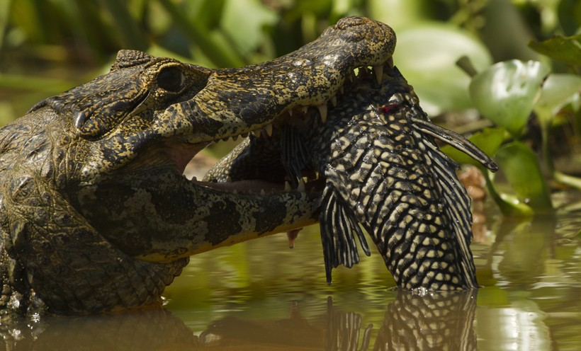 Spectacled Caimans