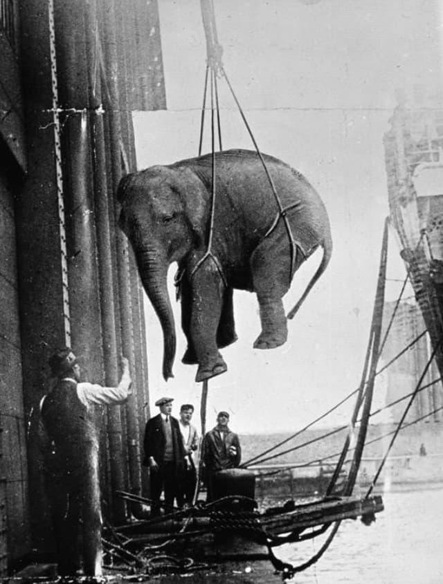 A Hoisted Elephant