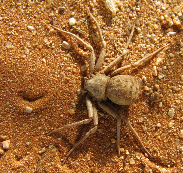 6 Eyed Sand Spider