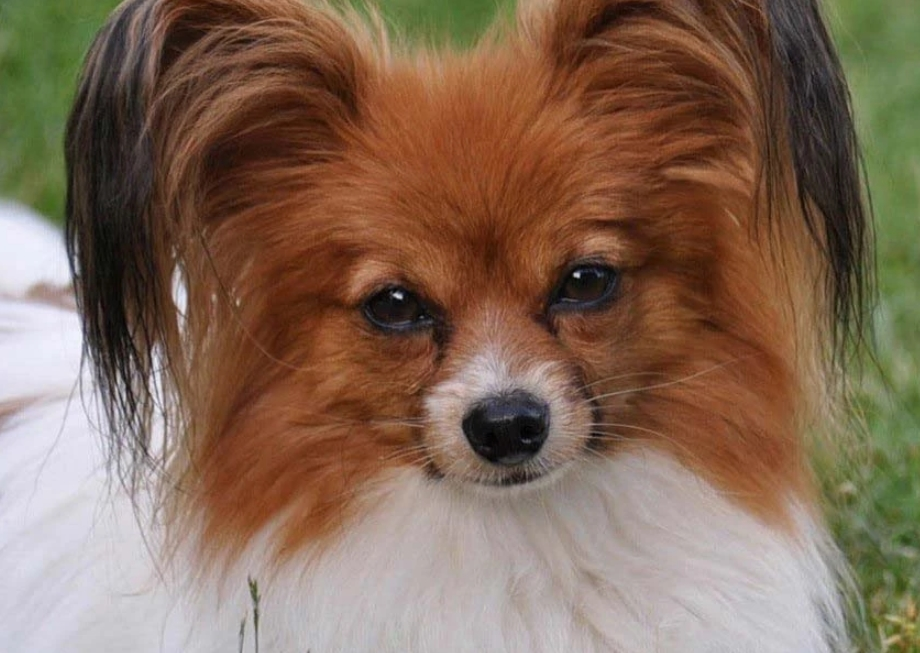 Papillion (Continental Toy Spaniel)